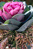 Ornamental cabbage with heather