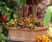 Früchte von Baumwürger mit Kerzenhalter