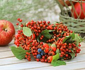 Autumnal wreath of various types of rose hips (Rosa)