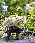 Clematis seed heads, grapes- Vitis, snow berries-Symphoricarpos
