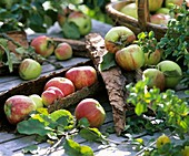 Apples (variety 'James Grieve') with bark decoration