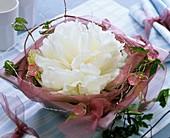 Weiße Pfingstrosenblüte in rosa Schale