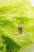 Small snail on a lettuce leaf