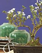 Bonsai Serissa in bonsai pot