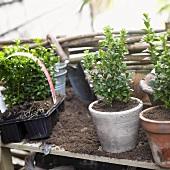 Small box trees in flowerpots