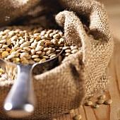 Brown lentils in jute sack with scoop