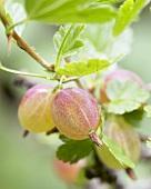 Gooseberries (Ribes uva-crispa 'Invicta') on the bush