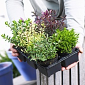 Woman holding hebe plants in plastic pots