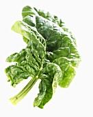 Ein Spinatblatt (Spinacia oleracea)