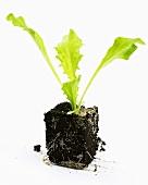 Young endive plant (Cichorium endivia)