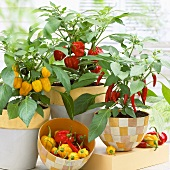 Chilli plants in pots