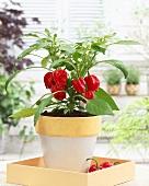 Red pepper plant in flowerpot