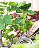 Small fig tree