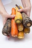 Hands holding various varieties of carrots