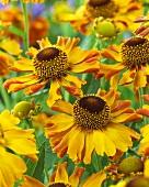 Gelbe Sonnenbraut (Helenium)