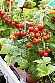 Tomato plants, variety 'Tasty Tom', in pots