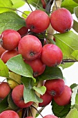 Crab apples ('Eleyi') on tree