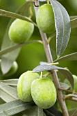 Oliven (Olea europaea 'Cipressino') am Zweig
