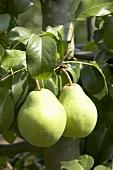 Pears (variety 'Glou Morceau') on the tree
