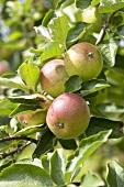 Apples (variety 'Dabinett') on the tree