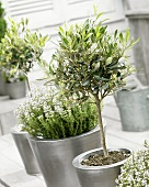 Small olive trees on terrace