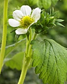 Strawberry plant (variety 'Tago') with flower