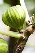 Fig 'Panache' on branch