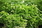 Bunches of curly leaf parsley