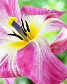 Tulip 'Flaming Purissima' (close-up)