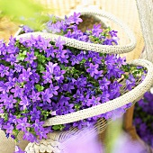 Dalmatian bellflower (Campanula portenschlagiana 'Catharina compact') in basket