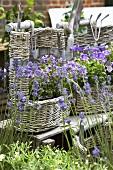 Lavender and campanulas in baskets in garden