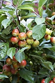 Crab apple 'Evereste' on the tree