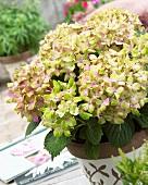 Hortensie 'Fantasia' im Blumentopf auf Terrasse