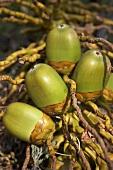 Unripe coconuts