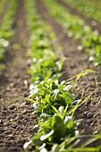 Corn salad in the field