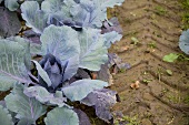 Red cabbage plants in the field