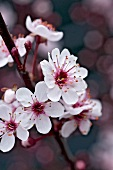 Branch of purple leaf sand cherry with blossom (Prunus cistena)