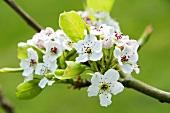 Callery pear blossom (Pyrus calleryana 'Chanticleer')