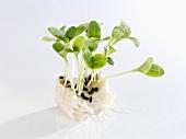 Borage sprouts