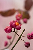 Fruit of the spindle tree (close-up)