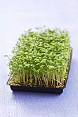 Cress in seed tray