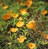 Chanterelles in grass