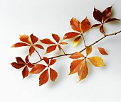 Autumn leaves (Boston ivy)