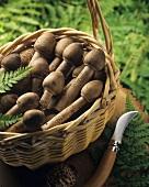 Basket of parasol mushrooms