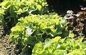 Oak leaf lettuce growing in the field