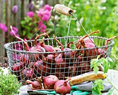 Red onions in a metal basket, gloves and trowel