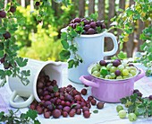 Red and green gooseberries in jugs and pan on garden table
