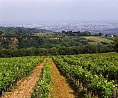 Vineyards, Grinzing near Vienna, Austria