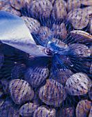 Striped Venus clams in net