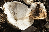 Parasol mushrooms (Lepiota procera)